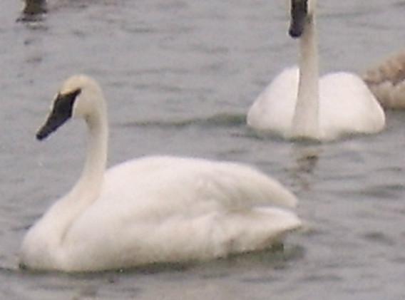 swan_1.jpg