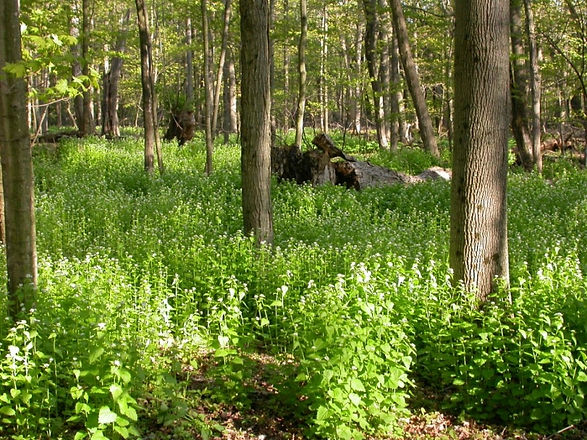 web-garlic-mustard-woods.jpg