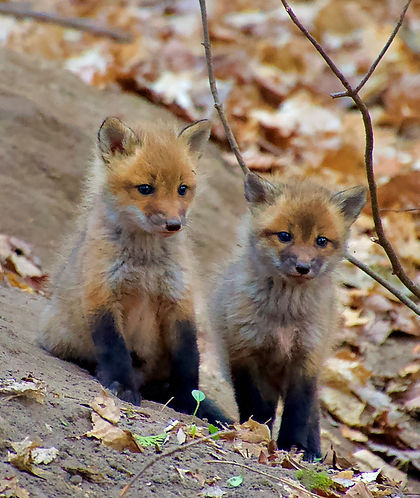 fox%20pups_edited.jpg