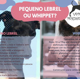 galguinho ou whippet