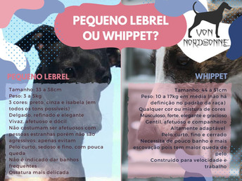 Pequeno Lebrel Italiano ou Whippet? Qual raça escolher?