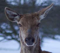 Deer in Wootton Park - Daylesford Farm