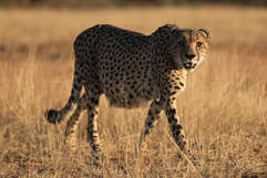 On foot with Cheetahs in Kruger National Park,South Africa