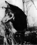 Chips, Heroic Dog of WWII