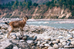 Backpacking With Goats, Milk on the Go!