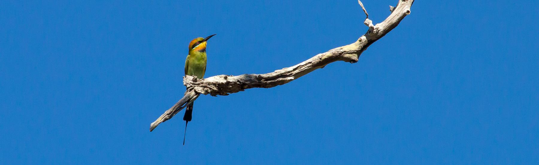 Rainbow Bee Eater, Eumundi QLD