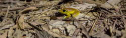 Stony Creek Frog, Belli Park QLD