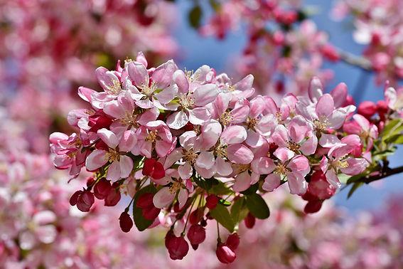 fruit tree cultivars