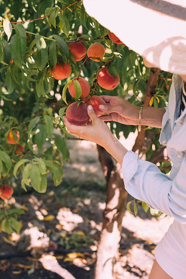peach tree cultivars