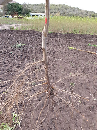 fruit tree roots with visible graft