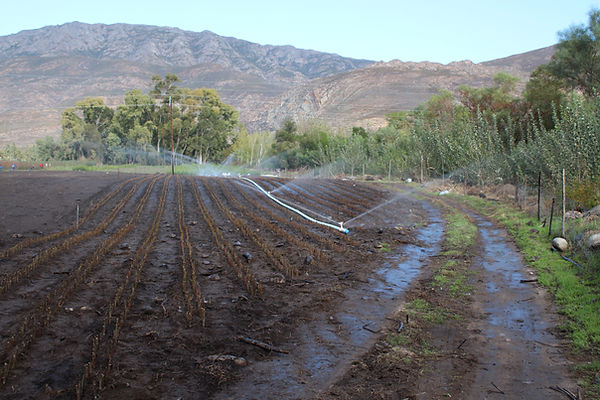 growing fruit tree cuttings in South Africa