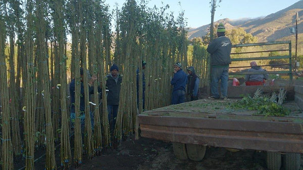 harvesting bare root fruit trees from the nursery