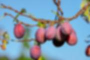 prune tree cultivars