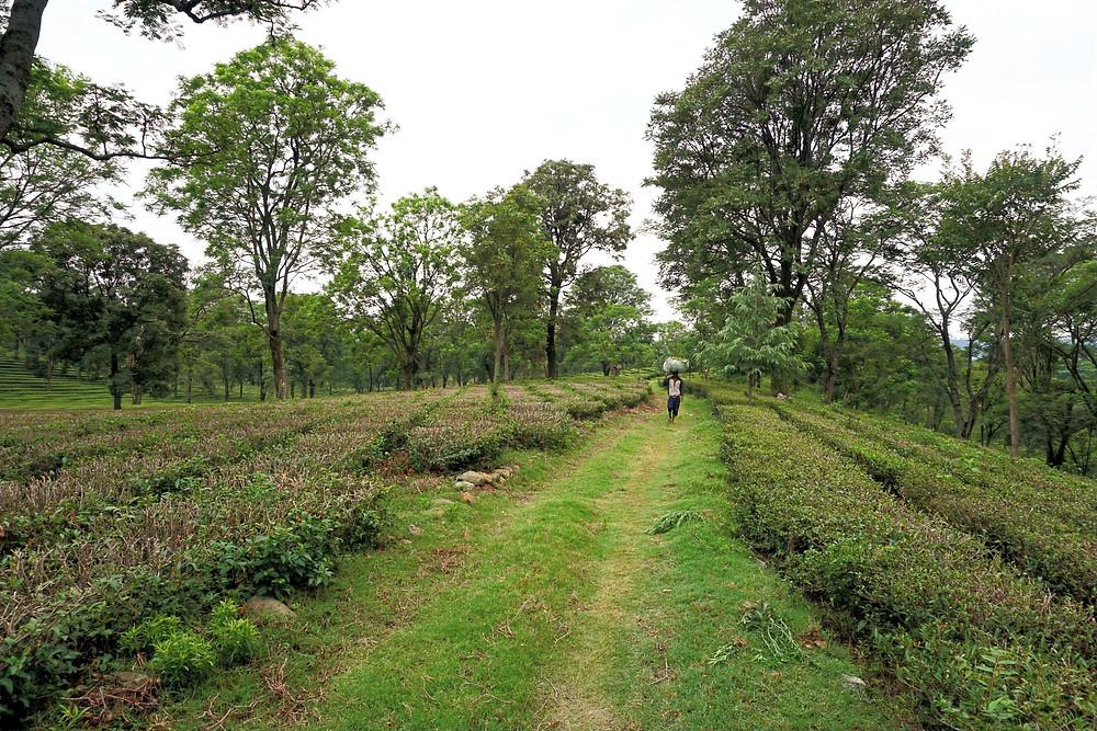 Revat Ram's Tea Garden