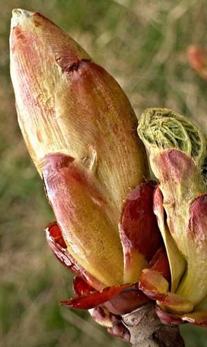 CHESTNUT BUD-Brote de castaño (Aesculus hippocastanum)