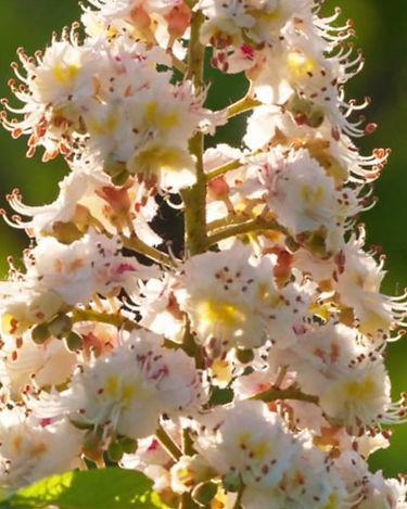 WHITE CHESTNUT-Castaño de Indias(Aesculus hippocastanum)