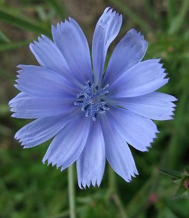CHICORY-Achicoria (Cichorium intybus)