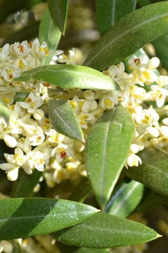 OLIVE-Olivo (Olea europaea)