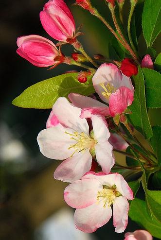CRAB APPLE-Manzano Silvestre (malus pumila)