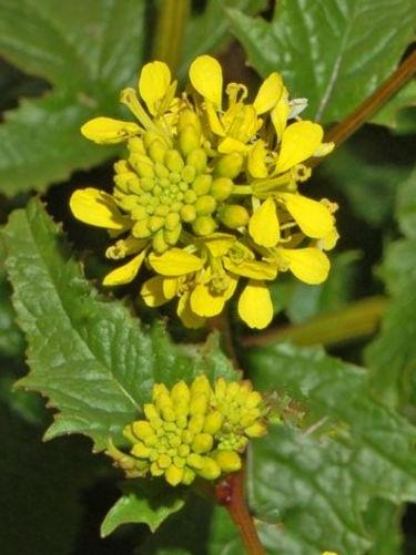 MUSTARD-Mostaza ( Sinapis arvensis)