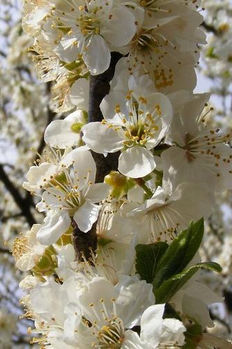 CHERRY PLUM- Ciruela Cereza (Prunus cerasifera)