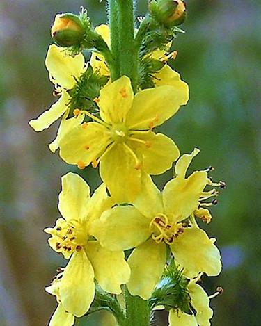 AGRIMONY-Agrimonia (Agrimonia eupatoria)