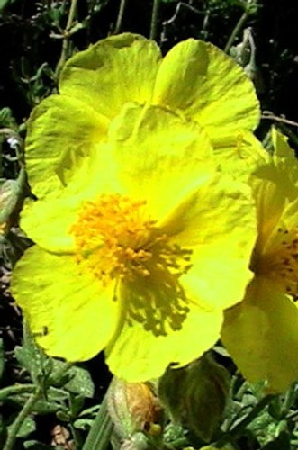 ROCK ROSE - Rosa de roca (Helianthemum nummularium)