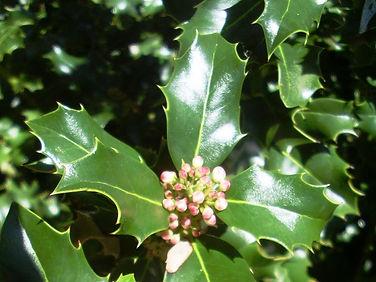 HOLLY-Acebo (Ilex aquifolium)