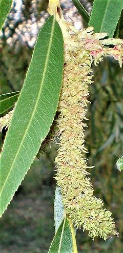 WILLOW-Sauce (Salix alba vitellina)