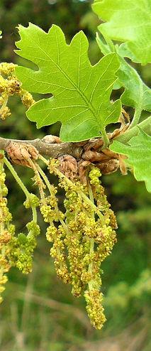 OAK-Roble (Quercus robur)