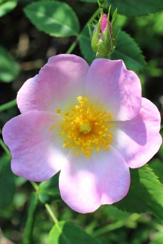 WILD ROSE-Rosa salvaje (Rosa canina)