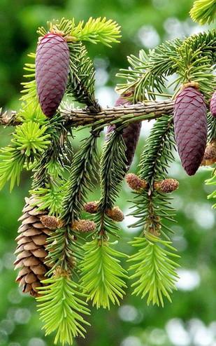 PINE-Pino silvestre (Pinus sylvestris)