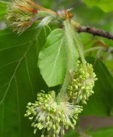 BEECH-Haya (Fagus sylvatica)