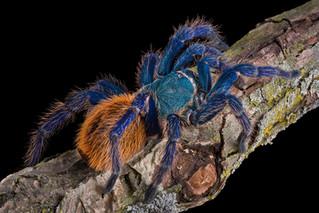 Lęk przez pająkami można wyleczyć w ciągu kilku minut