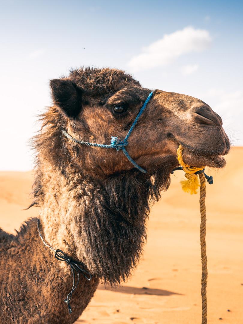 Samuel the Camel