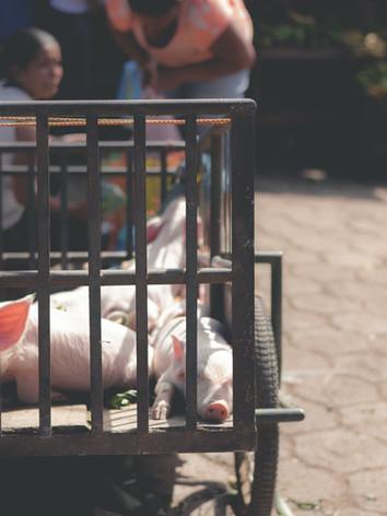 Granada Market Pigs