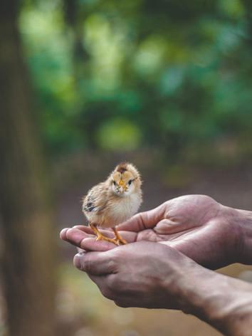 Small Chick at Santa Clara Farm