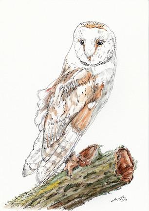 """Barn Owl"""