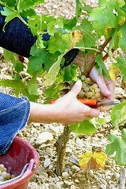 Les_Vendanges2_-_Château_Cabezac_fr.jpg