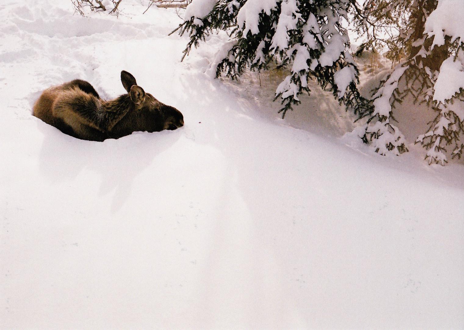 Mother Moose - Anchorage, AK