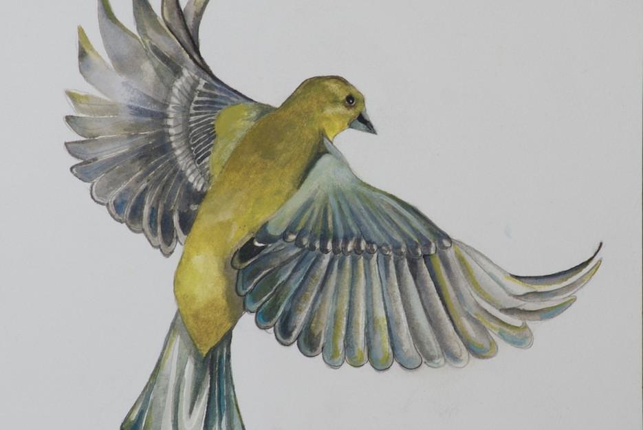 Green Finch in flight