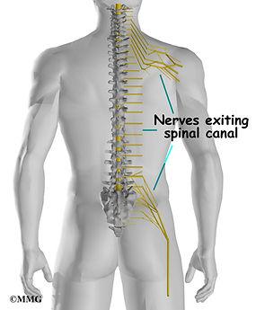 Burd PT Spine canal Nerves
