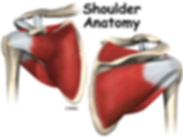 Burd PT Shoulder Anatomy