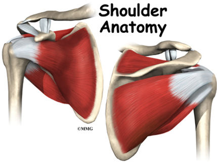 Burd PT Shoulder Anatomy