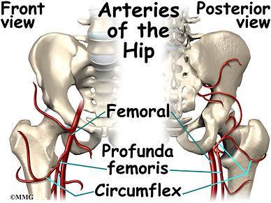 Burd PT Arteries of the Hip