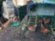 chicken and Raku firing.jpg