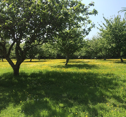 Buttercup Orchard