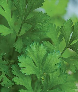Organic Herb Seedlings