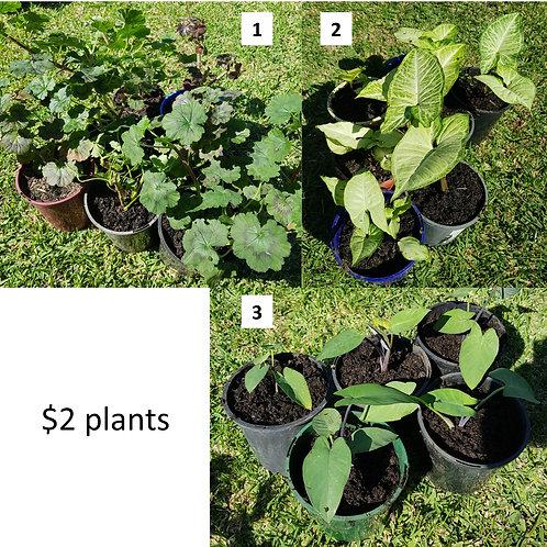 $2 Plant