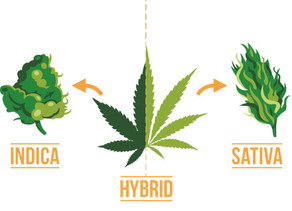 Indica, Sativa & Hybrid